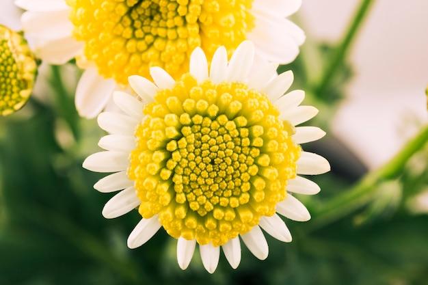 Ładny biały kwiat z żółtym pyłkiem