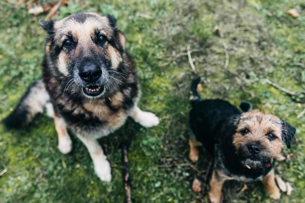 Ładny border terrier pies i owczarek niemiecki siedzi na trawie