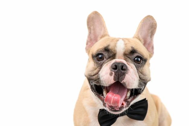 Ładny brązowy buldog francuski uśmiech i nosić czarną muszkę