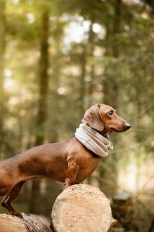 Ładny brązowy jamnik pies w ciągu dnia