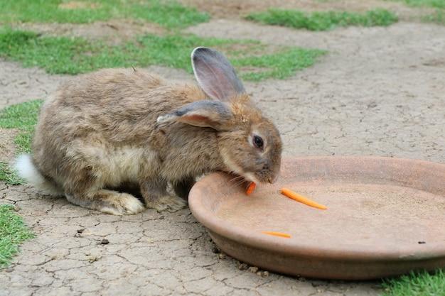 Ładny brązowy królik jedzenie marchewki na zielonej trawie w gospodarstwie.