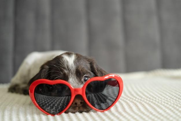 Ładny brązowy rosyjski spaniel pies leżący na kanapie w okularach serca. walentynki. leżąc na kanapie.