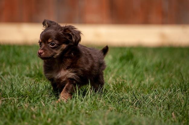 Ładny brązowy szczeniak działa w trawiastym polu w ciągu dnia