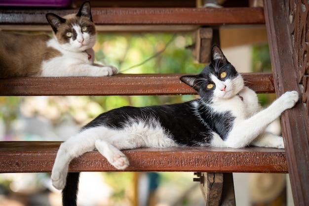 Ładny czarno-biały kot leżący na drewnianych schodach.
