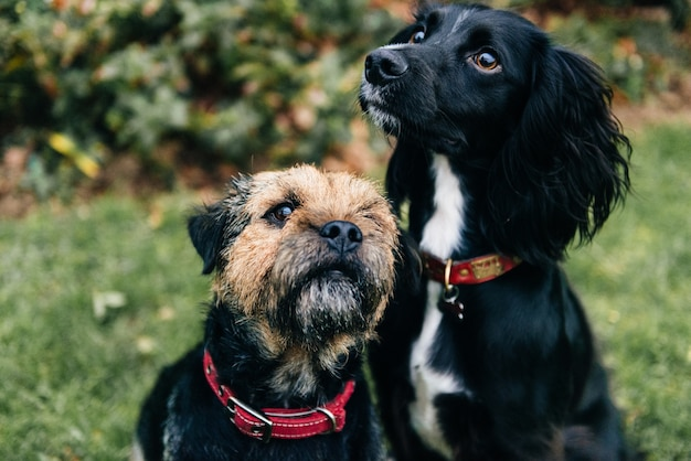 Ładny czarny spaniel pies i border terrier siedzi na trawie