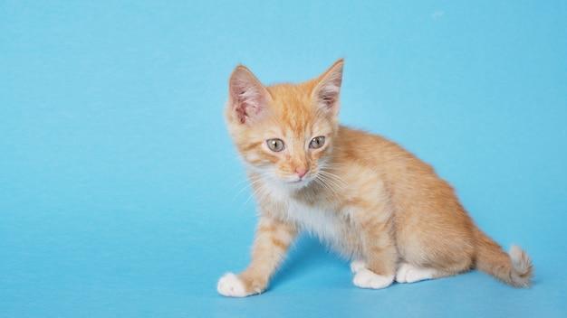 Ładny czerwony kotek na niebieskim tle. słodkie śmieszne zwierzęta domowe.
