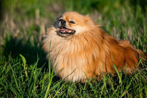 Ładny czerwony pomorskim na tle zielonej trawie, na zewnątrz. słoneczny dzień, pies się uśmiecha