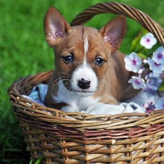 Ładny czerwony szczeniak basenji pies w koszyku na zewnątrz