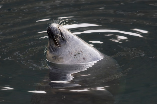 Ładny duży foka, ciesząc się i pływając w wodzie w zoo
