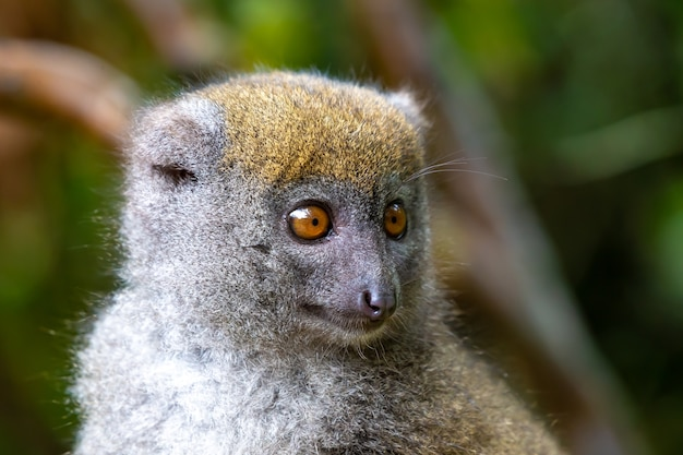 Ładny futrzany lemur w przyrodzie