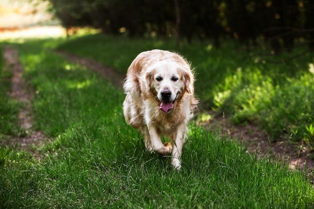 Ładny golden retriever w zielonej trawie
