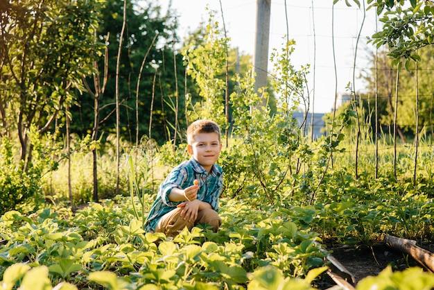 Ładny i szczęśliwy chłopiec w wieku przedszkolnym zbiera i zjada dojrzałe truskawki w ogrodzie w letni dzień o zachodzie słońca. szczęśliwe dzieciństwo. uprawa zdrowa i przyjazna dla środowiska.