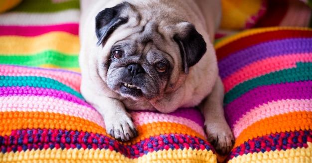 Ładny i zabawny pud dog leżał leniwie na kolorowej, ręcznie wykonanej okładce
