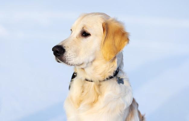Ładny kaganiec młodego psa retrievera na śnieżnym tle