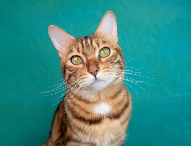 Ładny kot bengalski na zielonej powierzchni, pozowanie na kamery, wyśmienity