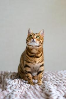 Ładny kot bengalski patrząc w górę