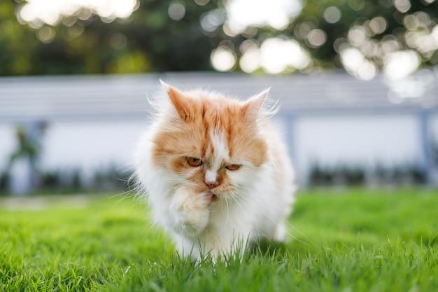 Ładny kot perski idzie na zielonym polu trawy, selektywnej ostrości płytkiej głębi ostrości