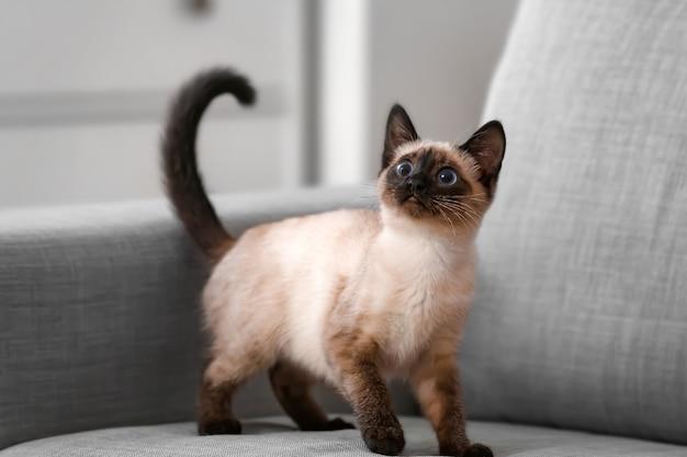 Ładny kot tajski na kanapie w domu
