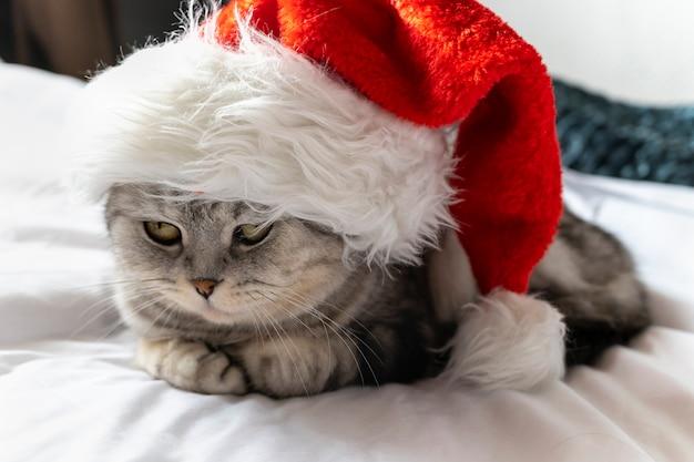 Ładny kot w czapce mikołaja patrzy. miejsce na tekst na szarym tle. kartka świąteczna ze zwierzakiem.