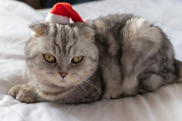 Ładny kot w czapce świętego mikołaja, patrząc. miejsce na tekst na szarym tle. kartka świąteczna ze zwierzakiem.