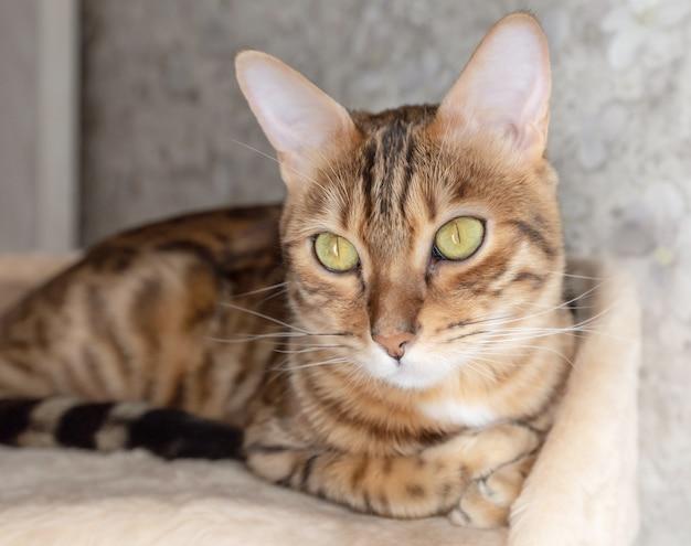 Ładny kotek bengalski na drapaku w domu