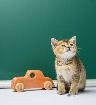 Ładny kotek szkocki złoty szynszyla prosto siedzi na tle zielonej tablicy kredowej