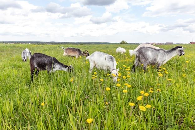 Ładny koźlątko z wolnego wybiegu na ekologicznej naturalnej ekologicznej farmie zwierząt swobodnie wypasanych na tle łąki. kozy domowe pasą się do żucia na pastwisku. nowoczesne zwierzęta gospodarskie, rolnictwo ekologiczne. prawa zwierząt.