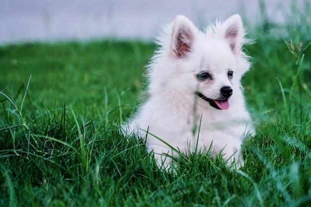 Ładny mały biały pies siedzi na trawie