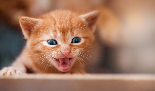 Ładny mały kotek w czerwone paski krzyczy