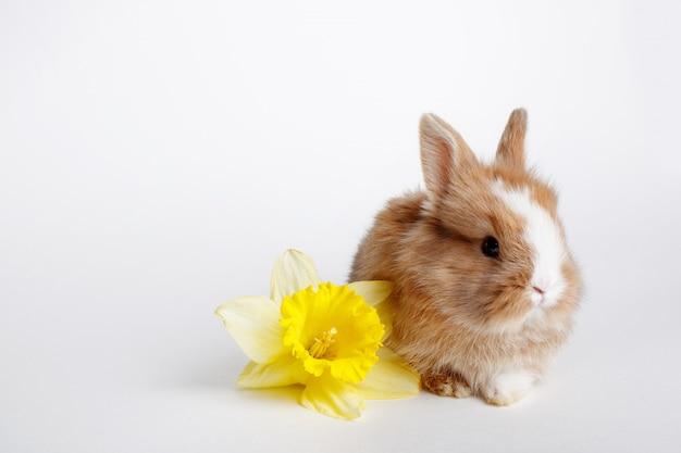 Ładny mały króliczek wielkanocny z żółtym kwiatem wiosny na białej przestrzeni