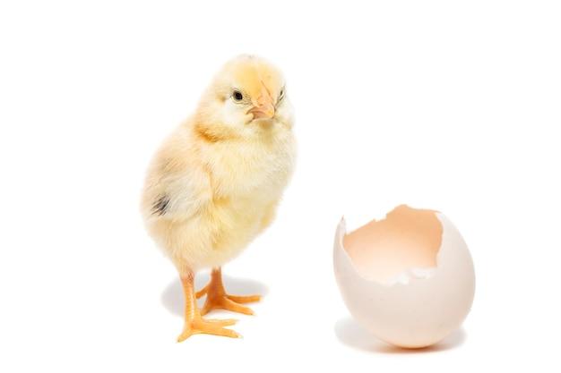 Ładny mały kurczak wychodzący z białego jajka na białym tle