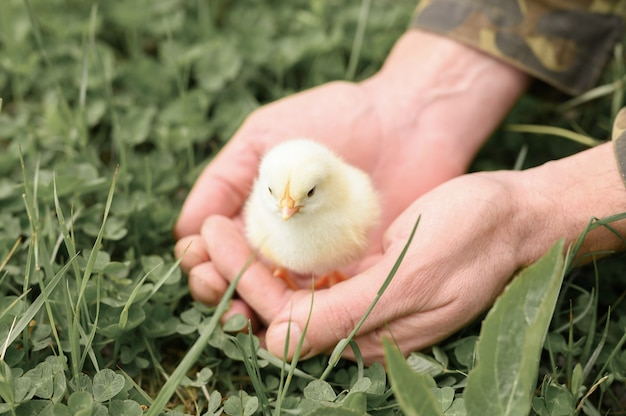 Ładny mały malutki noworodek żółty kurczak w męskich rękach rolnika na powierzchni zielonej trawie