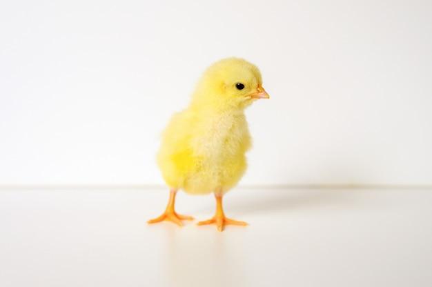 Ładny mały malutki noworodek żółty pisklę na białym tle