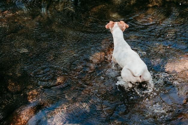 Ładny mały pies jack russell pływanie w rzece w lesie. zwierzęta i przyroda