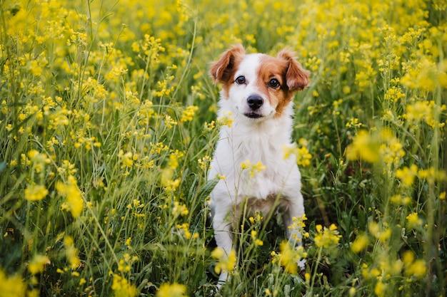 Ładny mały pies jack russell siedzi na zewnątrz w tle łąka żółte kwiaty. wiosna, szczęśliwe zwierzaki w przyrodzie