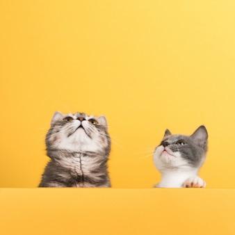 Ładny mały szary kot i kotek, na żółtym, wygląda i gra. biznes, copyspace.