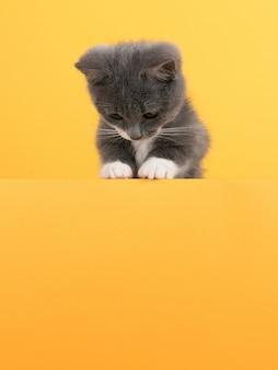 Ładny mały szary kot, na żółtym, wygląda i bawi się. biznes, copyspace.