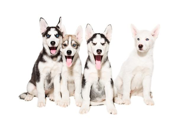 Ładny mały szczeniak husky na białym tle. grupa szczeniąt siedzi i patrzy w kamerę. cztery szczenięta husky.