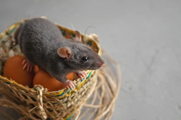 Ładny mały szczur siedzi w koszu z jajkami, koncepcja wakacji wielkanocnych