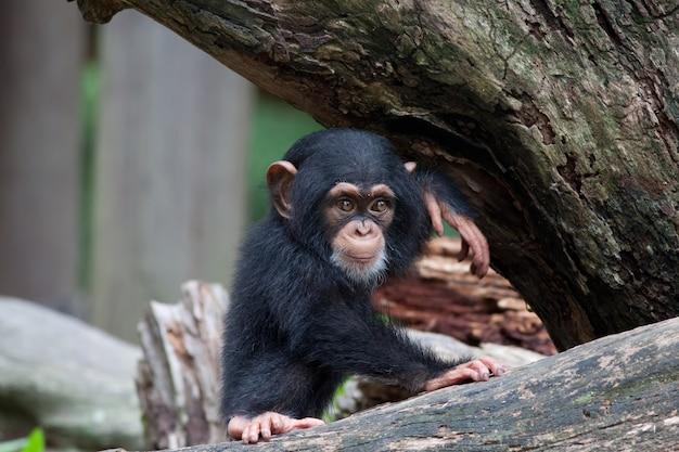 Ładny mały szympans siedzi na drzewie