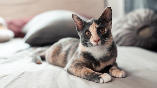 Ładny młody kot azjatycki z krótkimi włosami
