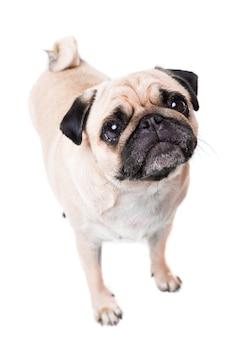 Ładny mops pies na białym tle na białej ścianie