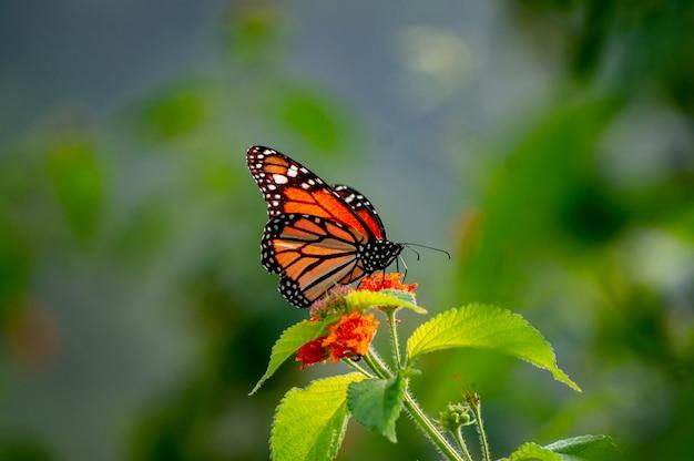 Ładny motyl monarcha pozowanie na kwiatek