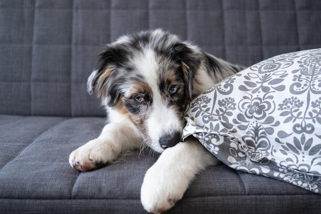 Ładny owczarek australijski blue merle szczeniak. gryźć poduszkę. zabawny niegrzeczny szczeniak. zły nawyk, problematyczne zachowanie zwierzęcia domowego lub domowego.