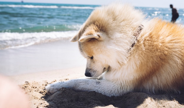 Ładny pies akita inu, który jest na plaży, letnie dni, akita inu, koncepcja podróży