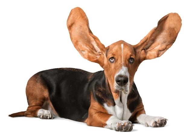 Ładny pies basset hound na białym tle
