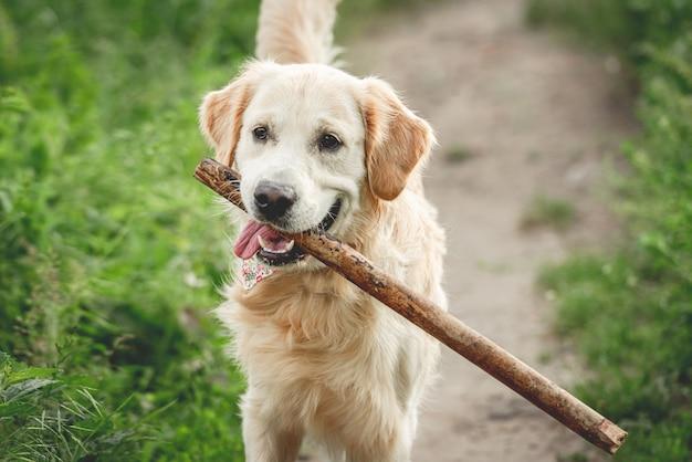 Ładny pies biegnący z kijem