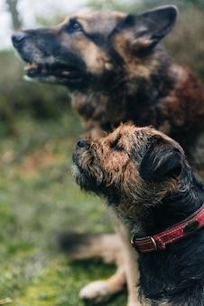 Ładny pies border terrier i owczarek niemiecki siedzi na trawie
