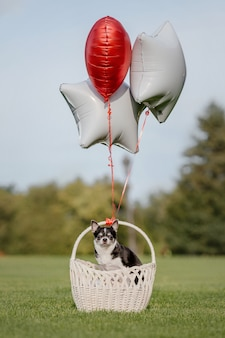 Ładny pies chihuahua z balonami