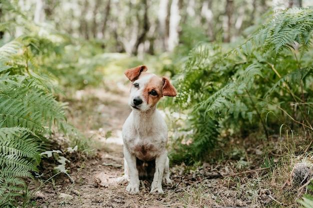 Ładny pies jack russell siedzi w lesie wśród zielonych liści paproci. przyroda i zwierzęta